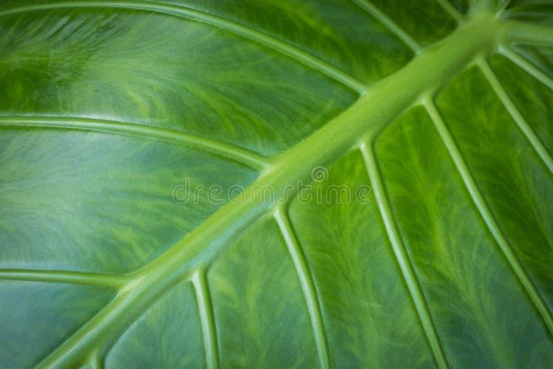 Bladcloseup - makro för blad för växt för elefantöra, royaltyfri bild