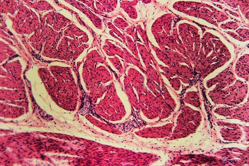 Bladder Cat Animal Tissue Microscope Slides Stock Image Image Of