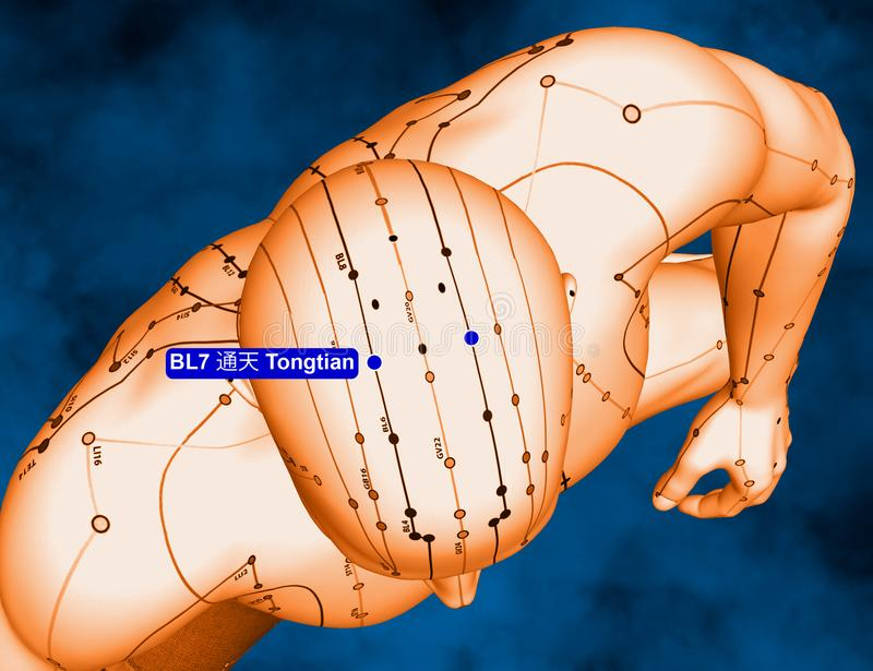 Acupuncture Point BL7 Tongtian, 3D Illustration, Blue Background royalty free stock images