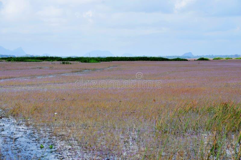 Bladderwort o aurea dorato di utricularia nel lago Thale Noi Waterfowl Reserve fotografia stock