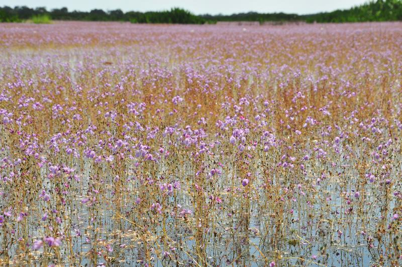 Bladderwort o aurea dorato di utricularia nel lago Thale Noi Waterfowl Reserve immagini stock