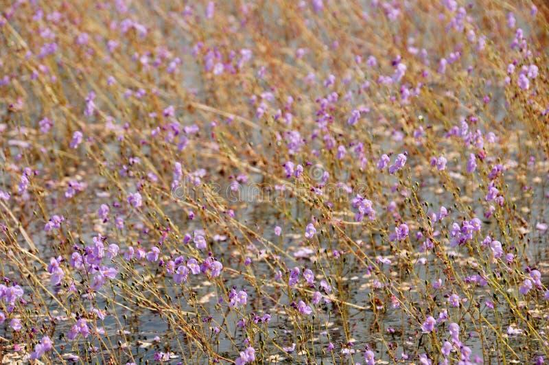 Bladderwort ou aurea d'or d'Utricularia au lac Thale Noi Waterfowl Reserve photo libre de droits