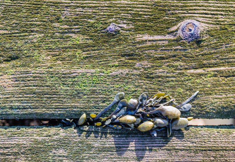 Bladderwrack dorośnięcie między starymi mechatymi deskami od zakończenia obrazy stock