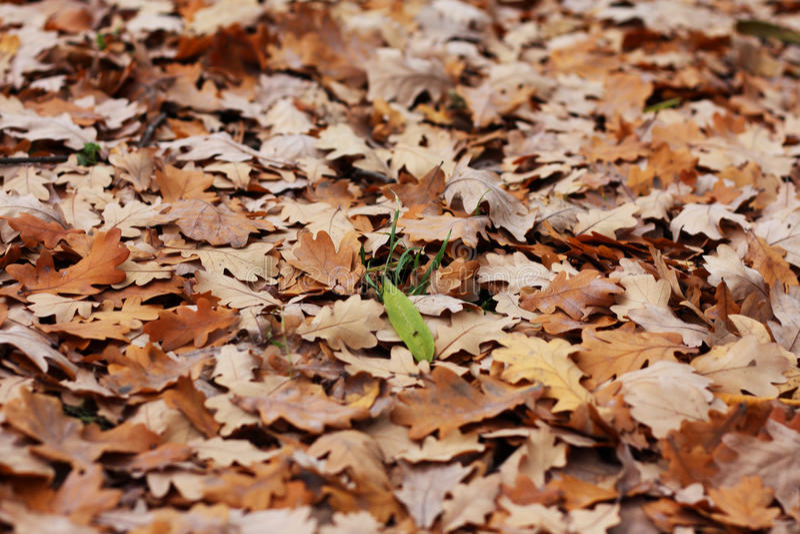 Blade of grass among oak s leafs