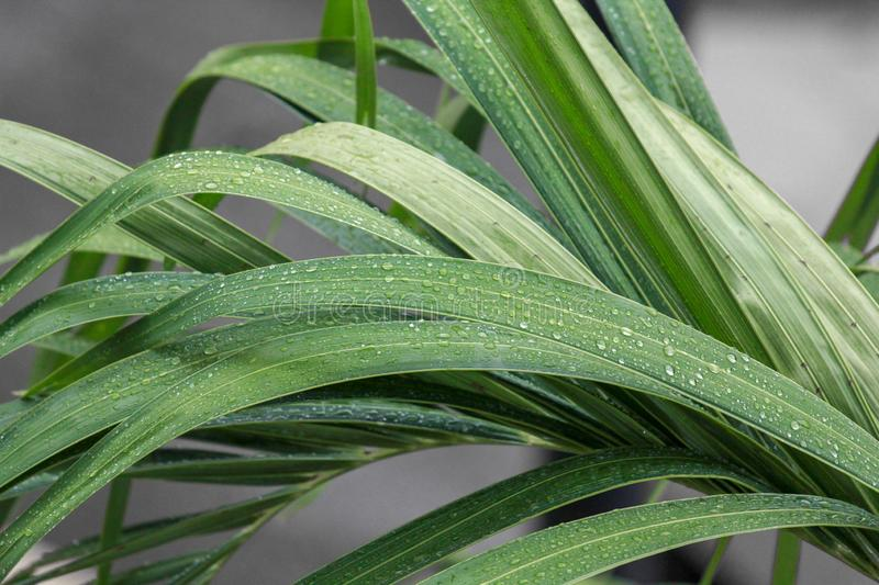 Blade grasses with rain drops royalty free stock images