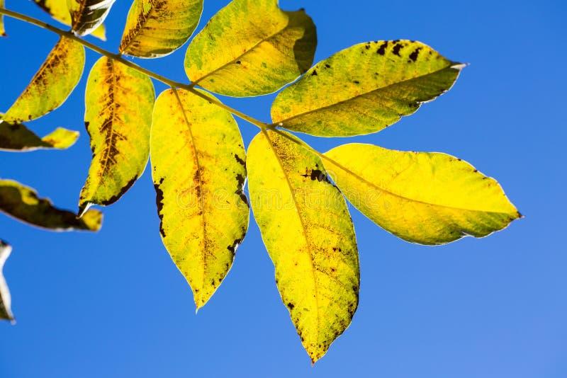 Bladeren in backlight, heldere blauwe hemel stock foto