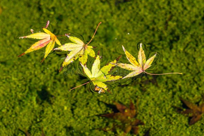 Bladeren die op een vijver, Californië drijven stock foto's