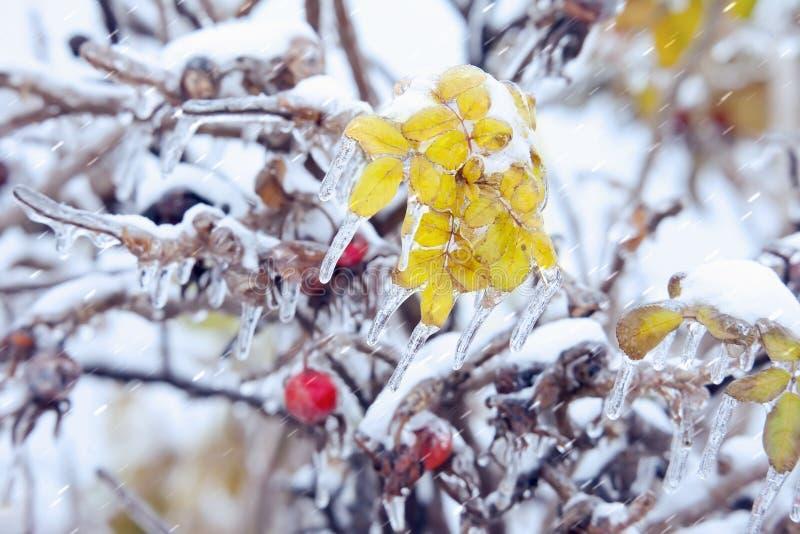 Bladeren en bessen van een dogrose met ijskegels onder ijzel stock afbeeldingen