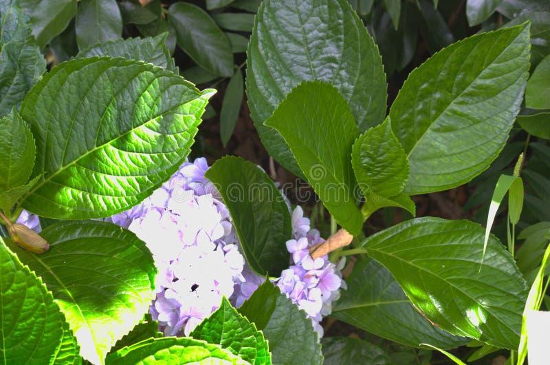 Bladeren en bloem van een violette hydrangea hortensia stock foto
