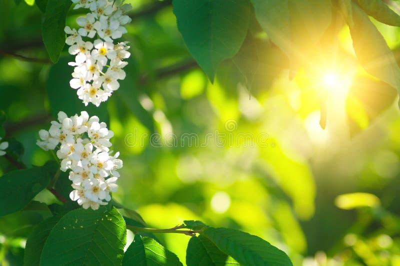Bladeren en bloemen van wilde kers in zonneschijn royalty-vrije stock foto's