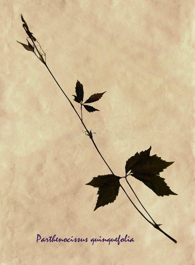Bladeren en stam van Wilde wingerd royalty-vrije stock afbeeldingen