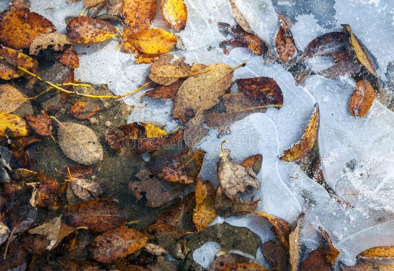 Bladeren in ijs worden bevroren dat stock foto