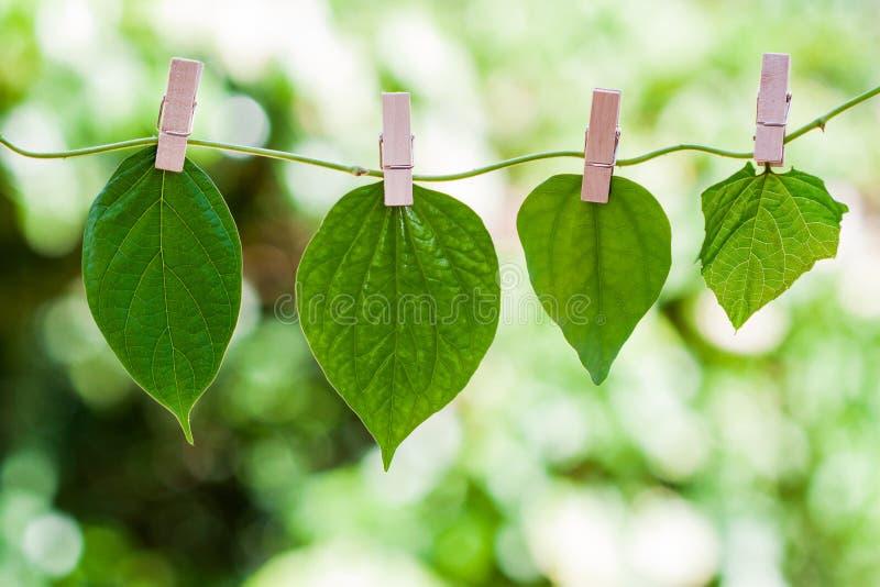 Bladeren op Liana met houten klemmen worden gehangen die stock fotografie