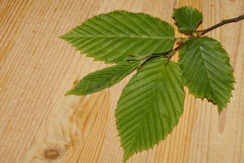 Bladeren in schaduwen van verse groen, Carpinus royalty-vrije stock afbeeldingen