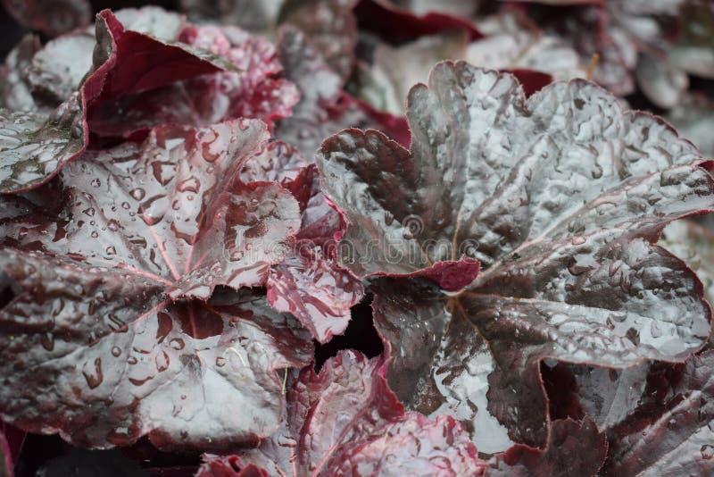 Bladeren van Begonia op bewolkte weerachtergrond, textuur, stock foto's
