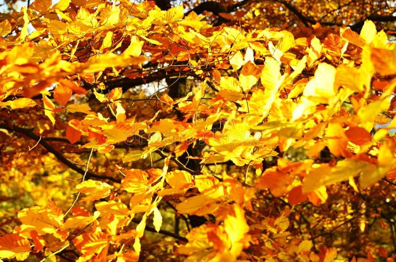 Bladeren van beuk in sinaasappel worden gekleurd die stock foto's