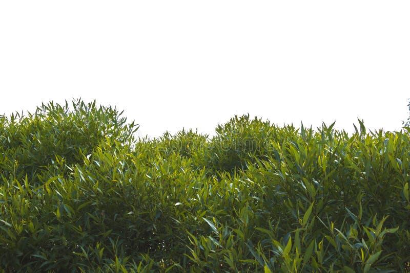 Bladeren van boomkroon op witte achtergrond wordt geïsoleerd die royalty-vrije stock afbeelding