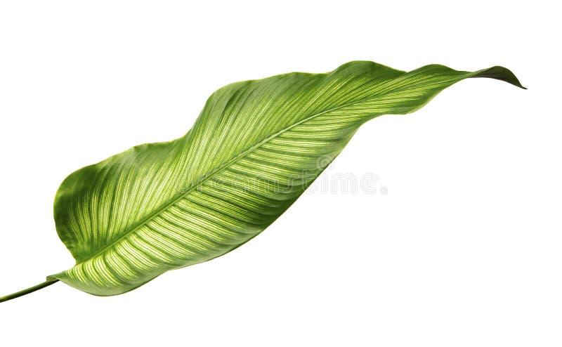 Bladeren van Calathea van Calatheaornata Pin-stripe, tropisch die gebladerte op witte achtergrond wordt geïsoleerd stock fotografie