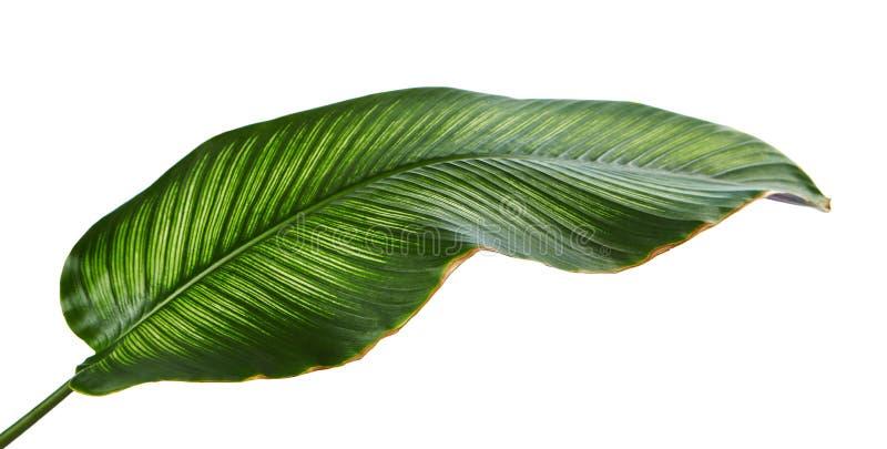 Bladeren van Calathea van Calatheaornata Pin-stripe, tropisch die gebladerte op witte achtergrond wordt geïsoleerd stock foto