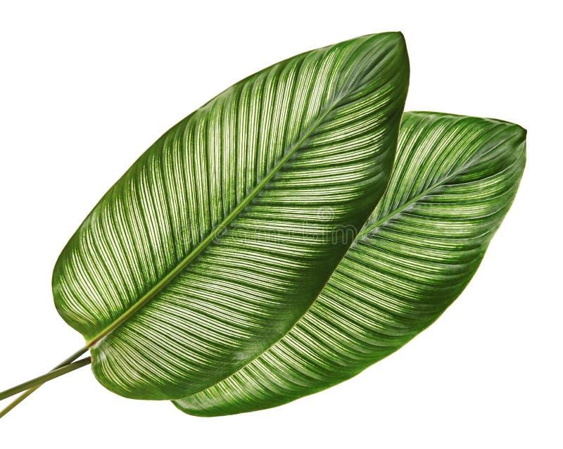 Bladeren van Calathea van Calatheaornata Pin-stripe, tropisch die gebladerte op witte achtergrond wordt geïsoleerd royalty-vrije stock fotografie