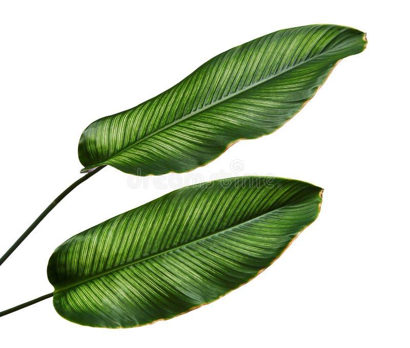 Bladeren van Calathea van Calatheaornata Pin-stripe, tropisch gebladerte dat op witte achtergrond, met het knippen van weg wordt  royalty-vrije stock foto's