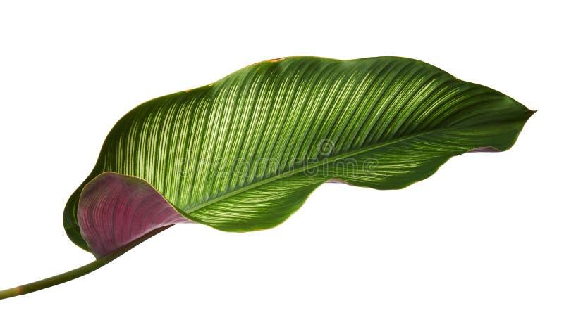 Bladeren van Calathea van Calatheaornata Pin-stripe, tropisch gebladerte dat op witte achtergrond, met het knippen van weg wordt  royalty-vrije stock foto