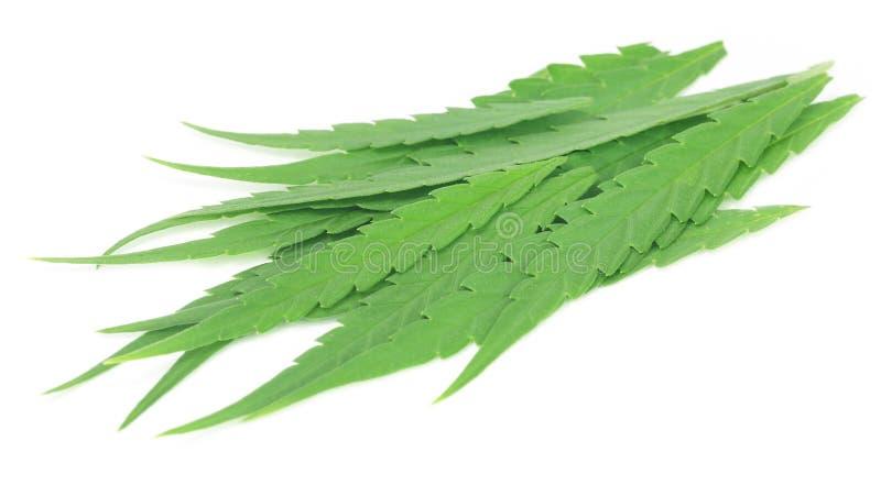 Bladeren van de cannabis sativa of geneeskrachtige marihuana royalty-vrije stock fotografie