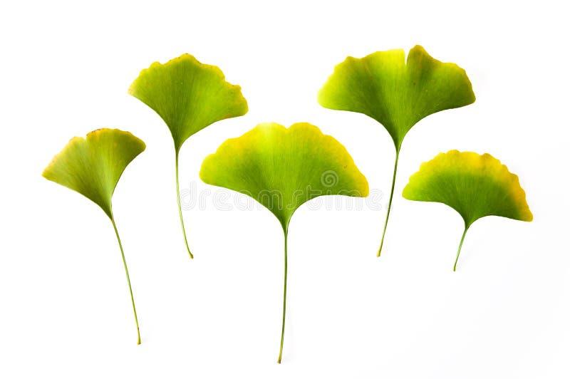 Bladeren van de herfst de gele die Ginkgo op een witte achtergrond worden geïsoleerd royalty-vrije stock foto