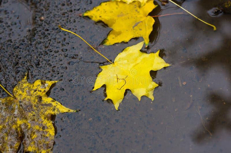 bladeren van de de herfst de gele esdoorn in regenvulklei stock afbeeldingen