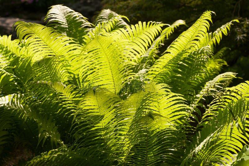 Bladeren van de Vvid de groene varen in tuin backlit met zon royalty-vrije stock foto's