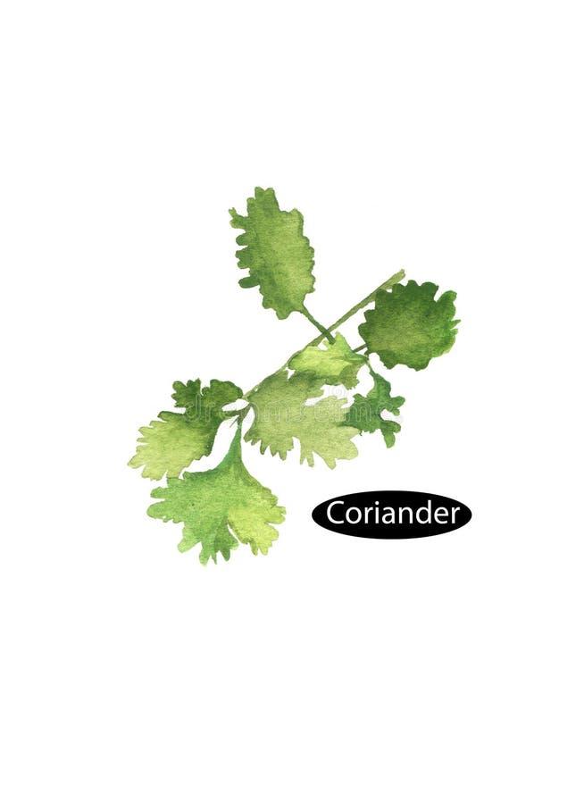 Bladeren van de waterverf de groene koriander vector illustratie