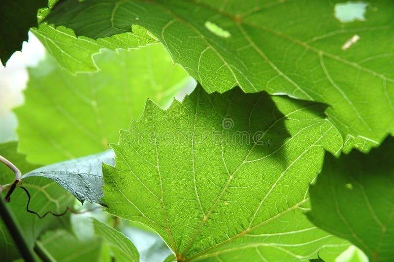 Bladeren van druiven stock afbeeldingen