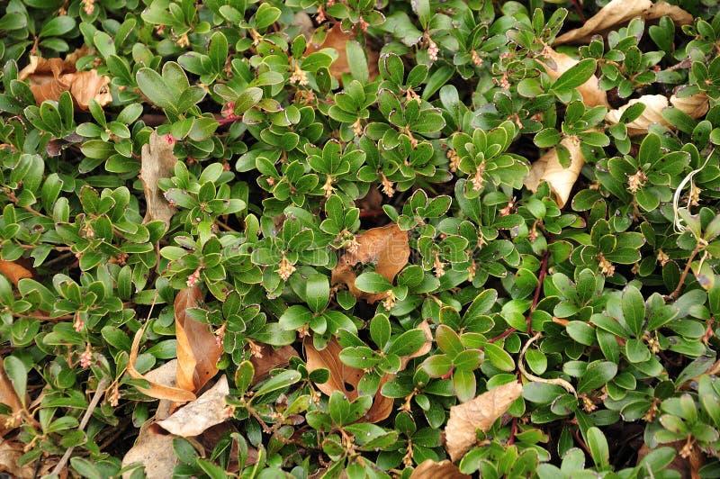 Bladeren van een beredruif in de vroege lente stock afbeeldingen