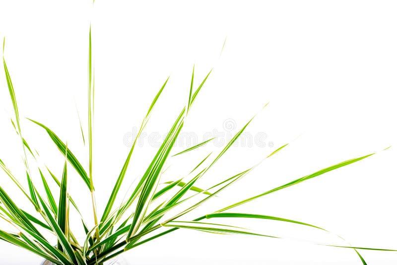 Bladeren van een decoratieve zegge op een witte achtergrond stock fotografie