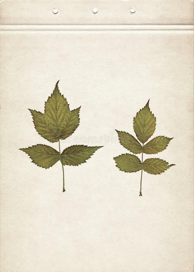 Bladeren van framboos Uitstekende herbariumachtergrond op oud document Samenstelling van gedrukte en droge groene bladeren op een stock afbeelding