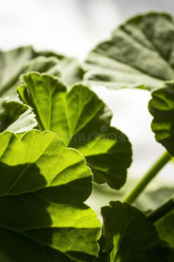 Bladeren van geranium stock afbeeldingen