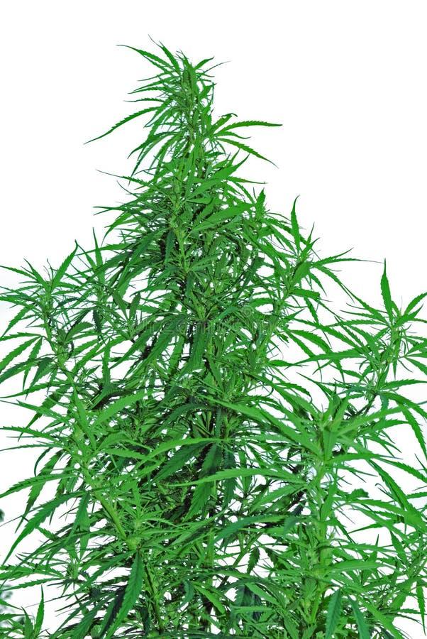 Bladeren van hennep stock afbeeldingen