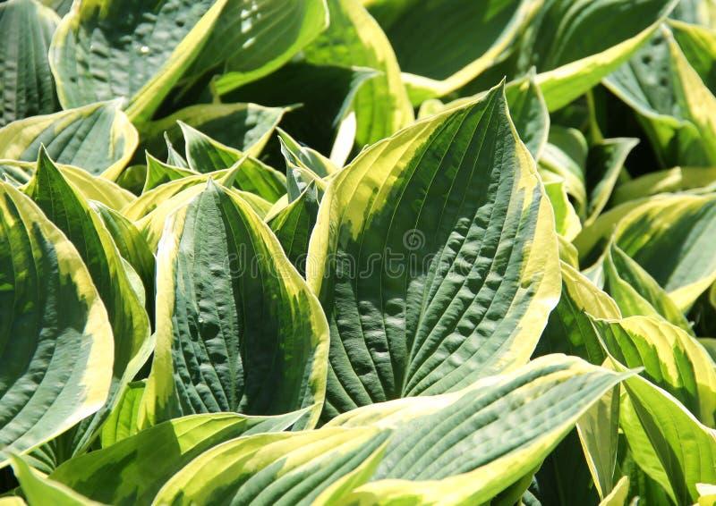 Bladeren van hosta stock afbeeldingen