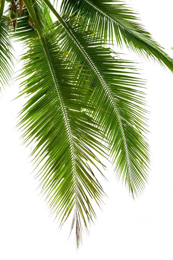 Bladeren van kokospalm op witte achtergrond wordt geïsoleerd die stock afbeeldingen