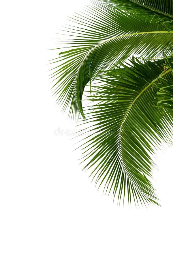 Bladeren van kokospalm op witte achtergrond wordt geïsoleerd die stock foto