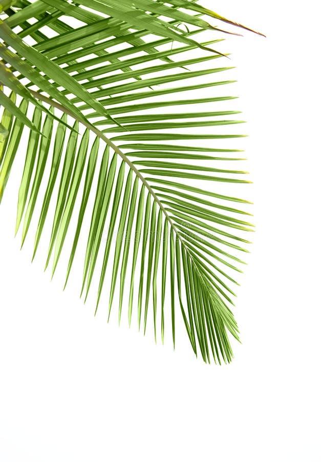 Bladeren van palm royalty-vrije stock afbeelding