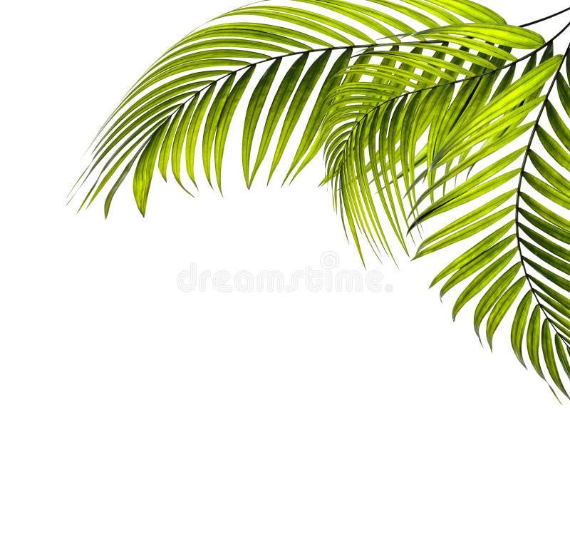 Bladeren van palm stock afbeelding