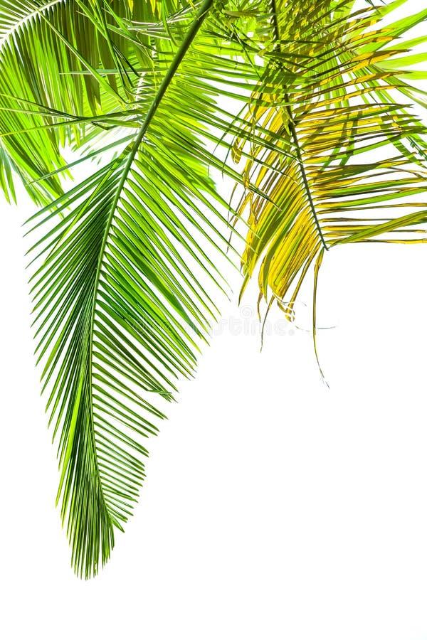 Bladeren van palm op wit royalty-vrije stock afbeelding