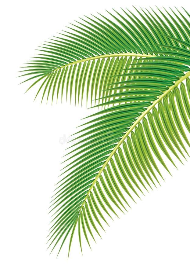 Bladeren van palm op witte achtergrond.