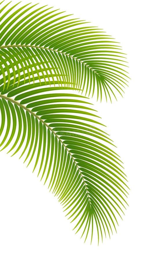 Bladeren van palm op witte achtergrond. royalty-vrije illustratie
