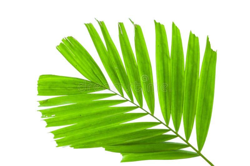 Bladeren van palm op witte achtergrond wordt geïsoleerd die stock foto