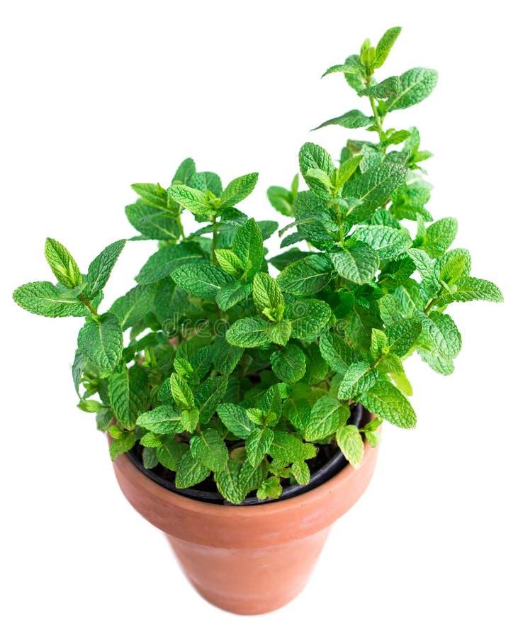Bladeren van Pepermunt het groeien in een pot op witte achtergrond wordt geïsoleerd die Melissa, Munt, groene muntkruid Gardering stock fotografie