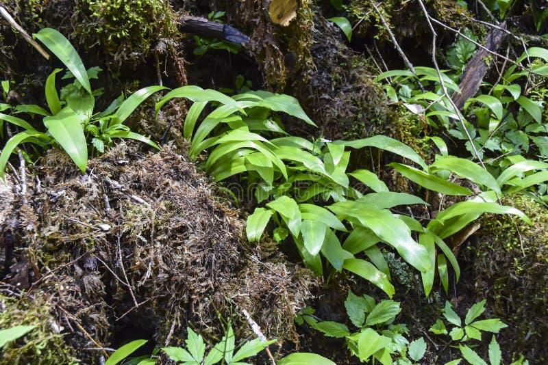 Bladeren van wild knoflook stock fotografie