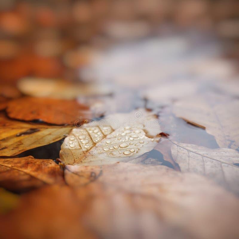 Bladeren in water, beukbladeren in de herfst, ondiepe diepte van gebied, stock afbeelding