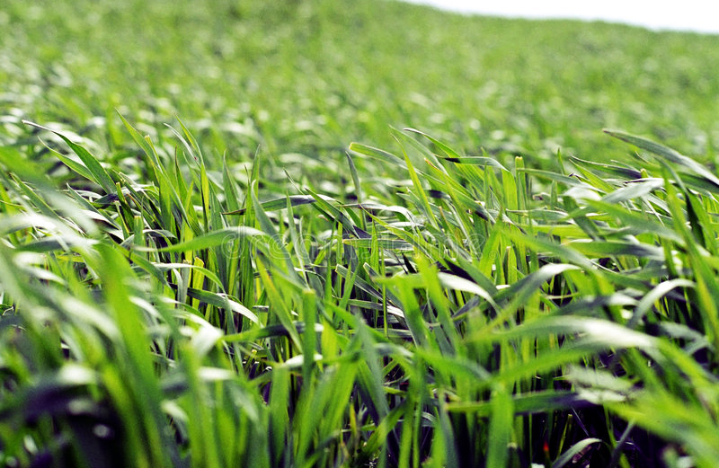 Download Blades of green grass stock photo. Image of grassland - 5354586